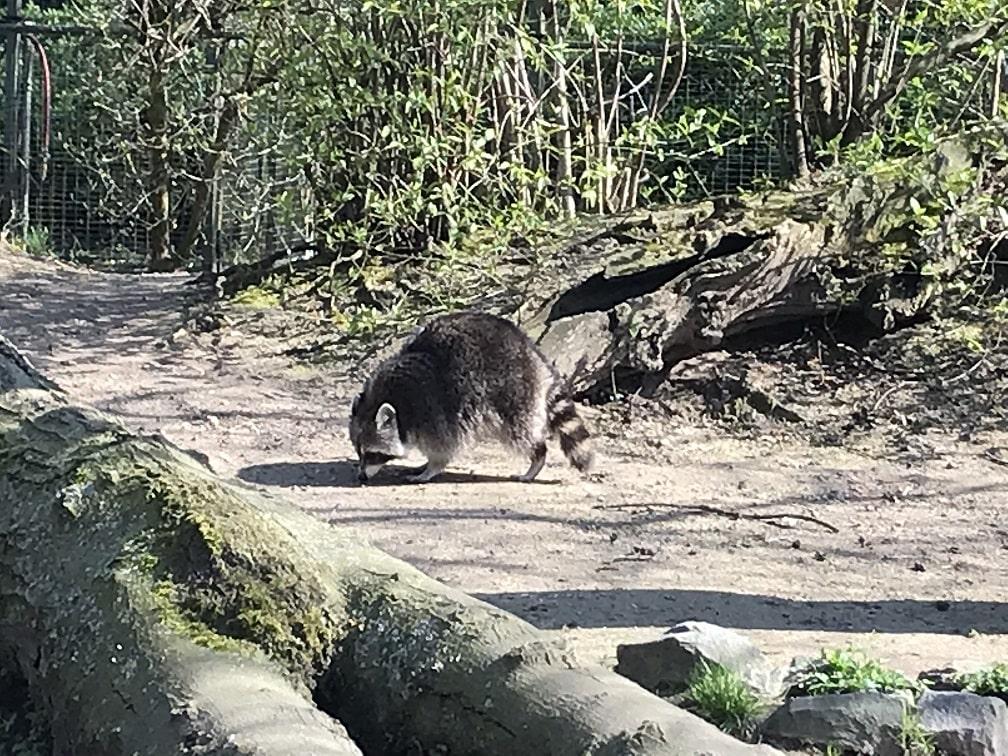 ケルン動物園のアライグマ