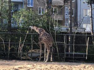 ケルン動物園のキリン