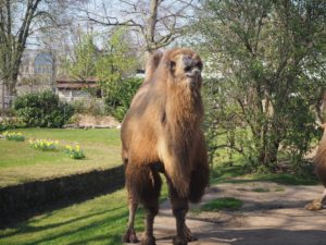 ケルン動物園のラクダ