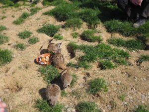 ケルン動物園のミーアキャット