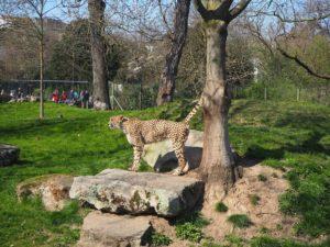 ケルン動物園のチーター