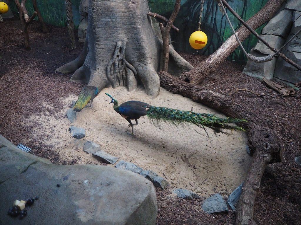 ケルン動物園の孔雀