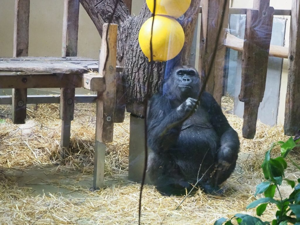 ケルン動物園のゴリラ