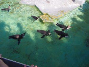 ケルン動物園のペンギン