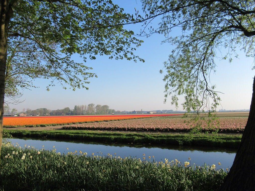 キューケンホフ公園周辺のチューリップ農園