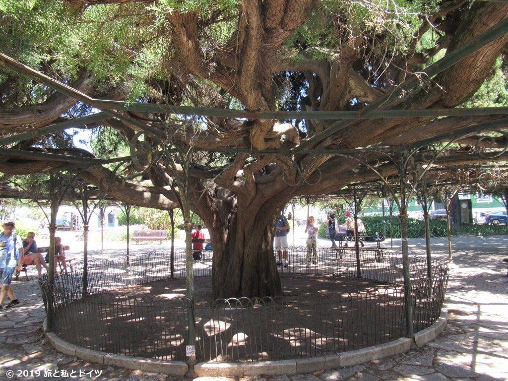 プリンシペ・レアル公園にあるリスボン一古い杉の木